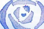 Wątrobowce, mchy i paprocie pod mikroskopem