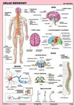 Duo - Układ nerwowy człowieka