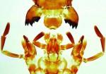 Owady: Apterigota, Orthoptera - zestaw 10 preparatów