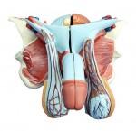 MA-331D Struktura męskiego narządu płciowego