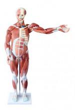 MA-334  Model budowy mięśni człowieka